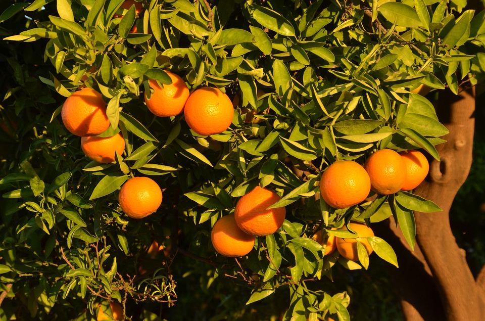 Wilde sinaasappel olie